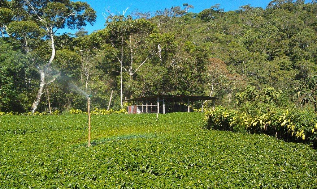 Coffee trees Costa Rica