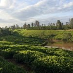 Coffee and tea growing together on a farm in Kenya