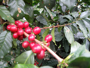 Coffee cherries on coffee plant