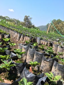 coffee tree nursery