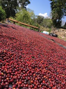 Peruvian coffee cherries