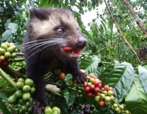 Civet with coffee cherries