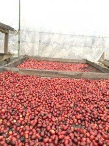 Unwashed Sumatran coffee cherries on raised beds