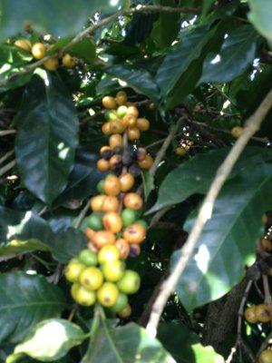Crimson Cup Friend2Farmer coffee beans Fazenda Bela Vista Minas Gerais Brazil